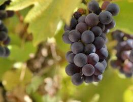Foto av druer - frukt