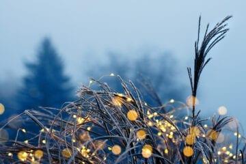 Strå med frost og lys